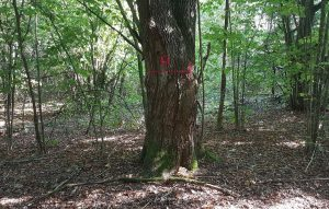 už biržės ribų paženklintas medis